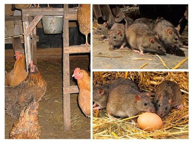 Как избавиться от крыс в курятнике: эффективные народные способы и яды