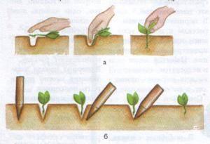 Можно ли пикировать рассаду капусты | вырасти сад!