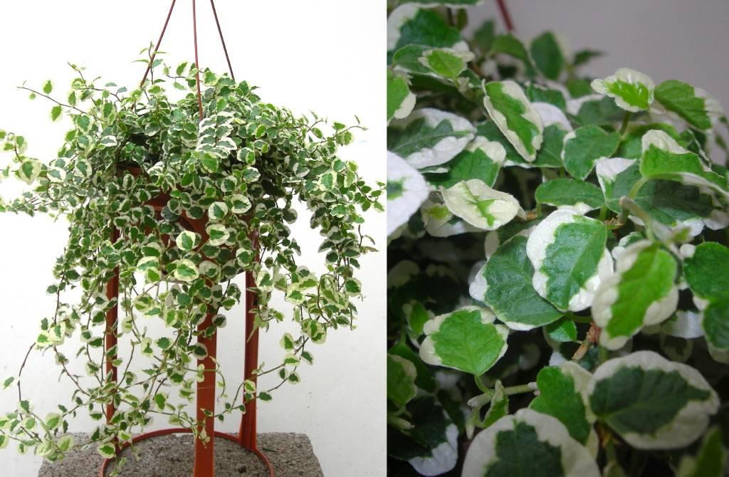 Фикус пумила - фикус карликовый - уход и выращивание