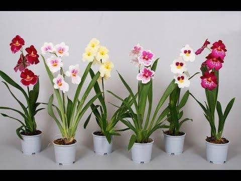 Мильтония – фото, уход и пересадка орхидеи в домашних условиях