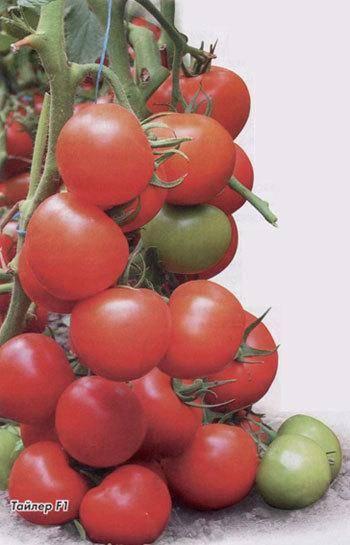 """Томат тайлер f1 - описание сорта, отзывы, урожайность - журнал """"совхозик"""""""