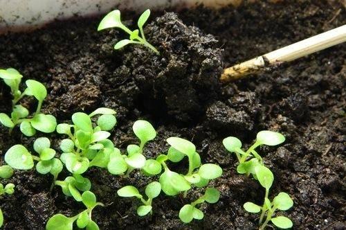 Когда и как высаживать петунию в открытый грунт
