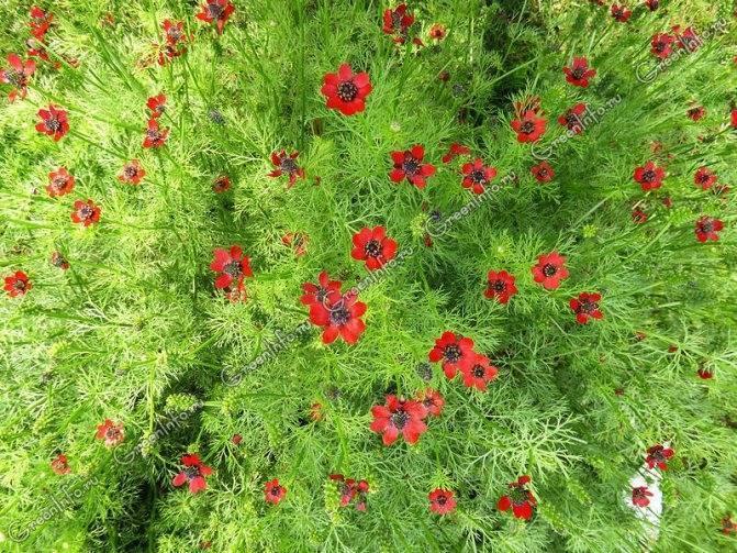 Адонис (горицвет) – выращивание из семян, посадка и уход
