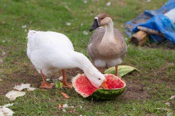 Чем кормить гусей в домашних условиях: особенности рациона чем кормить гусей в домашних условиях: особенности рациона