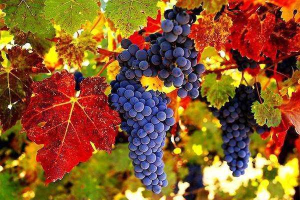 Полезные свойства листьев винограда: характеристика и описание, ценность, лечебные свойства