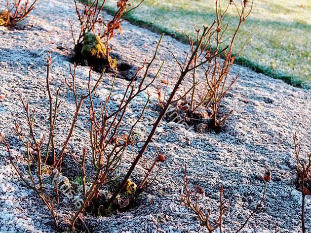 Подготовка лилий к зиме, уход после цветения: когда обрезать и как укрыть