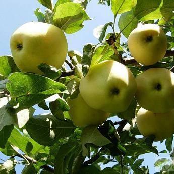Дивный сорт яблонь с медовым пряным вкусом — уральский наливной