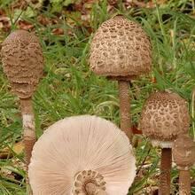 Грибы-зонтики — съедобные или ядовитые: разновидности, описание, фото. гриб-зонтик съедобный: как выглядит, с чем можно перепутать? как отличить гриб-зонтик от мухомора, поганки, ядовитых грибов: сравнение, сходства и различия. полезны ли грибы-зонтики?