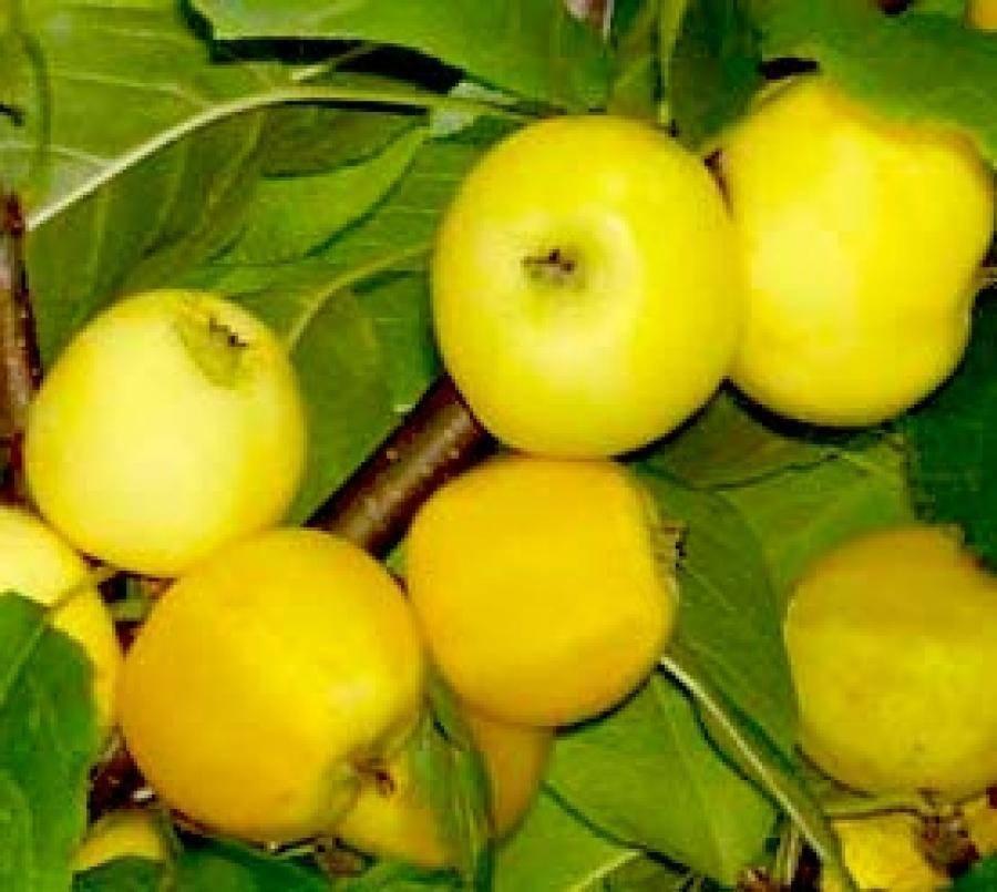 Яблоня китайка золотая ранняя: описание, отзывы, посадка + фото