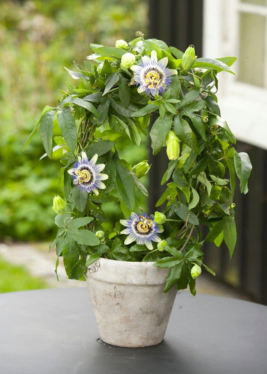 Пассифлора: уход в домашних условиях, виды, выращивание из семян