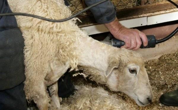 Машинка для стрижки овец: описание моделей и характеристики