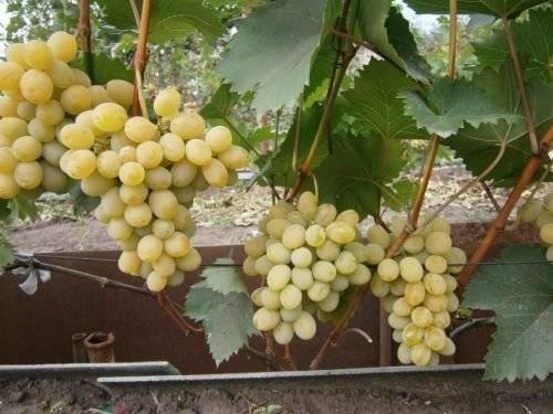 Виноград феномен описание сорта фото отзывы видео | мой сад и огород