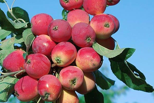Сорт яблок бельфлер китайка описание, фото, отзывы