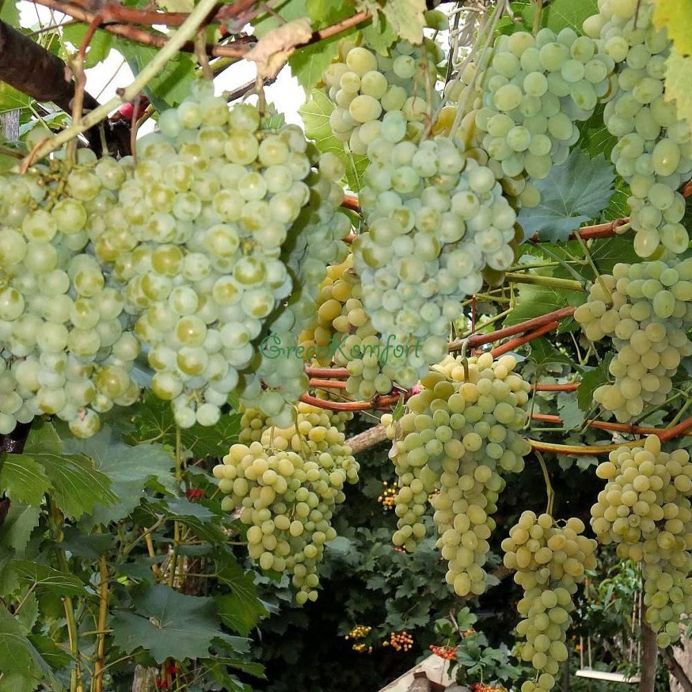 Белый виноград: сорта, состав и калорийность, полезные свойства для здоровья