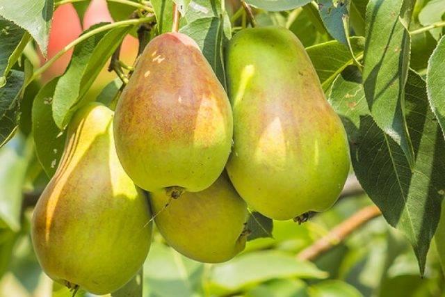 Посадка саженца груши в открытый грунт весной и осенью: пошаговое руководство