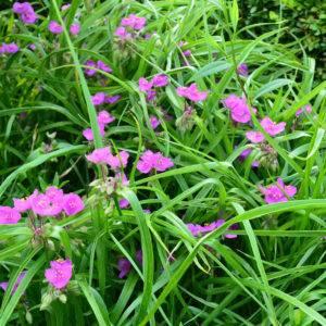 Цветок традесканция фото, виды (зебрина, виргинская, андерсона, белоцветковая, приречная) и описание комнатного растения