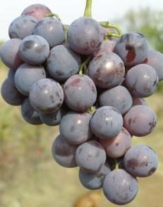 Виноград кардинал: описание сорта, фото