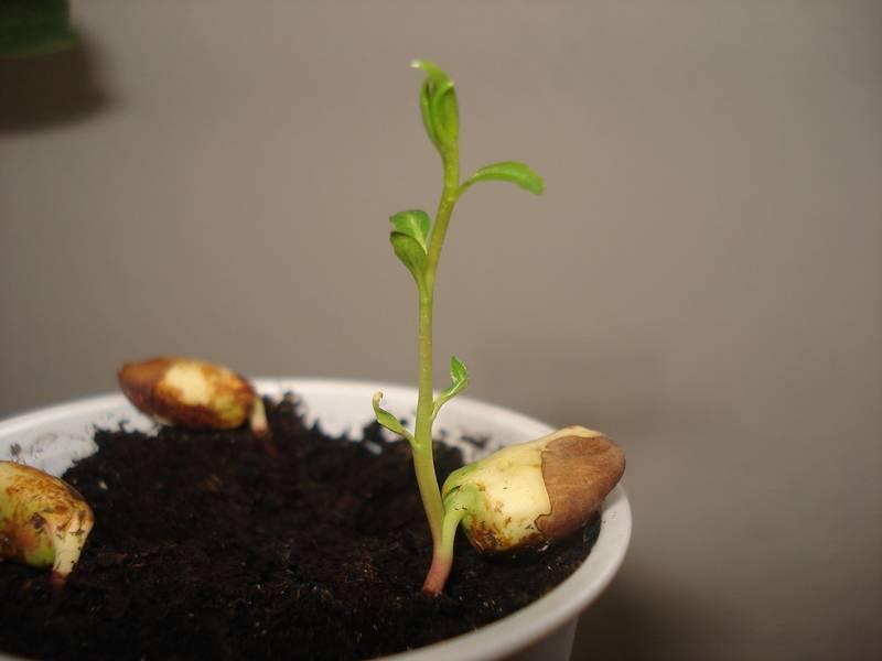 Орех фундук – посадка и уход