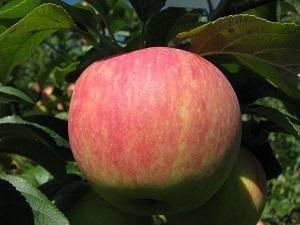 Сорт яблони услада, описание, характеристика и отзывы, а также особенности выращивания данного сорта