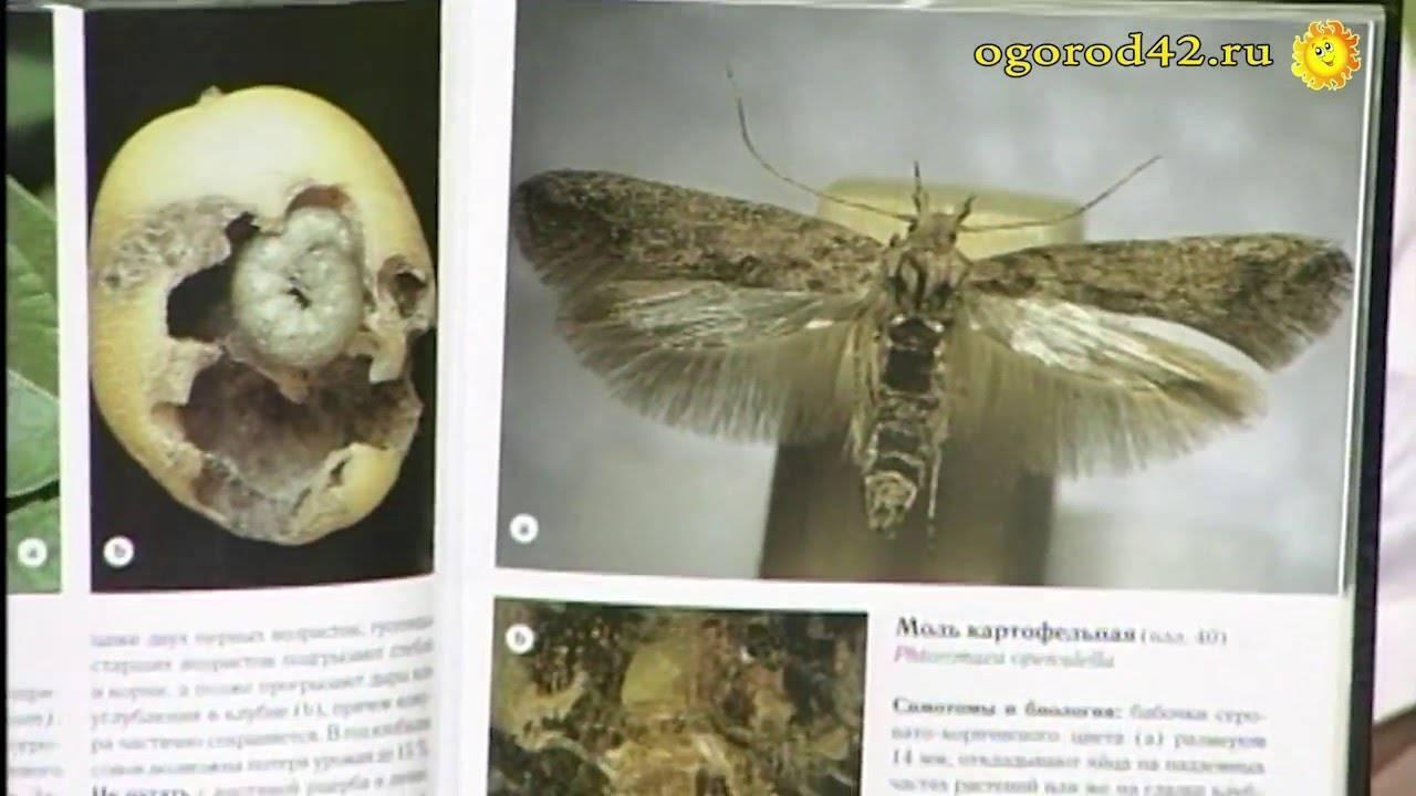 Картофельная моль: как с ней бороться, чем обработать клубни при закладке на хранение, как избавиться от мухи, фото как сохранить, какие принять меры