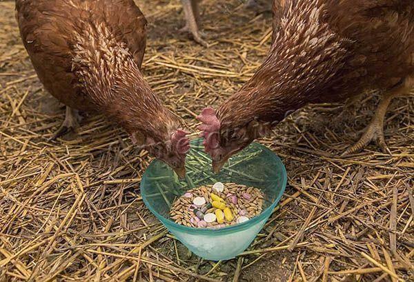 Как приготовить мешанку для кур-несушек