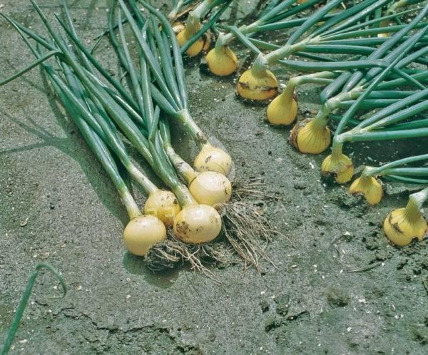 Озимый лук - когда и как высаживать?
