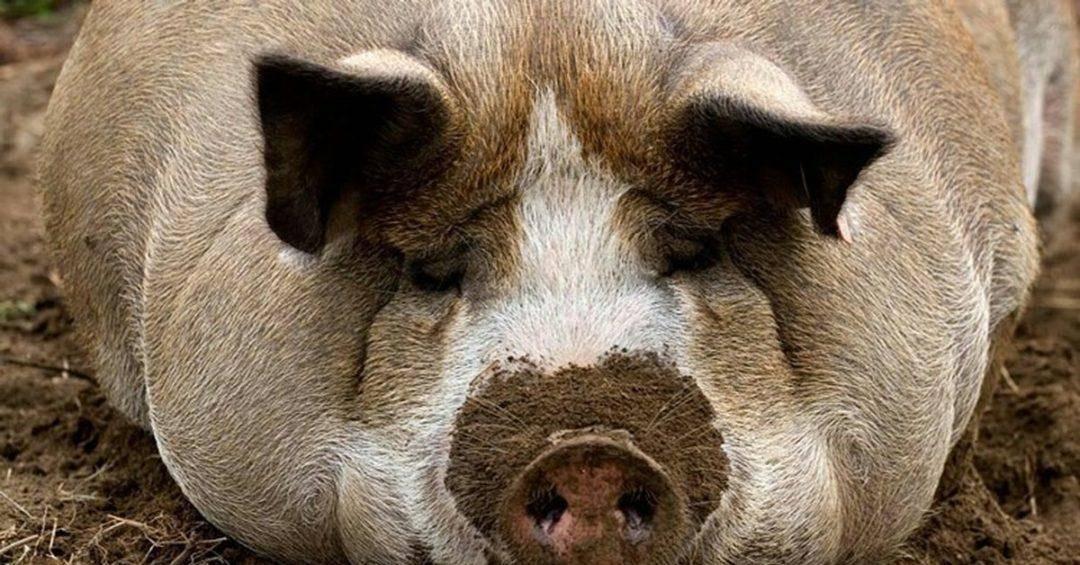 Сколько лет живут свиньи? что влияет на продолжительность жизни? долго ли живут поросята в домашних условиях и в природе?