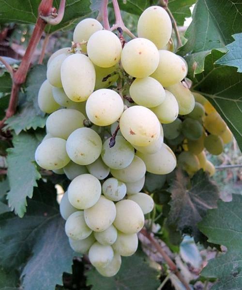 Виноград подарок запорожью: особенности и уход. секреты успешного виноградаря