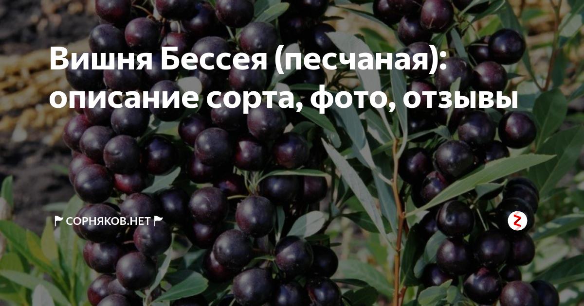 Уход за вишней бессея: описание, особенности агротехники, опыления, секреты повышения урожайности