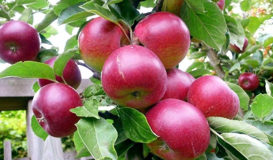 Лучшие сорта яблок: фото с названием и описанием