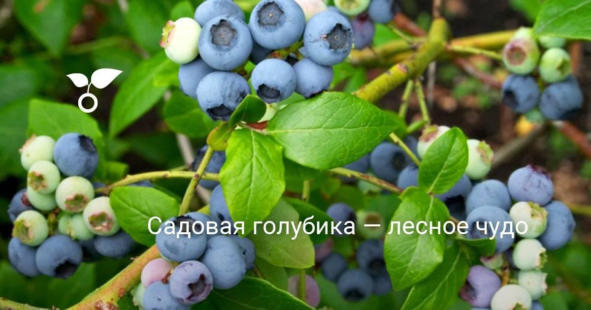 От чего на голубике краснеют листья и как вылечить ягодник?
