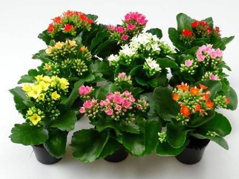 Как выращивать каланхоэ в домашних условиях: посадка, полив, размножение - sadovnikam.ru