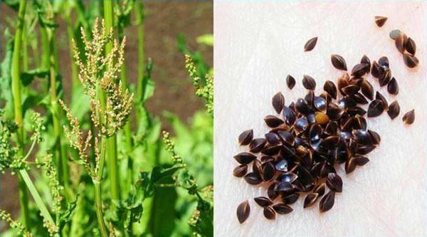 Как правильно вырастить щавель? особенности и нюансы посадки и ухода в открытом грунте и дома