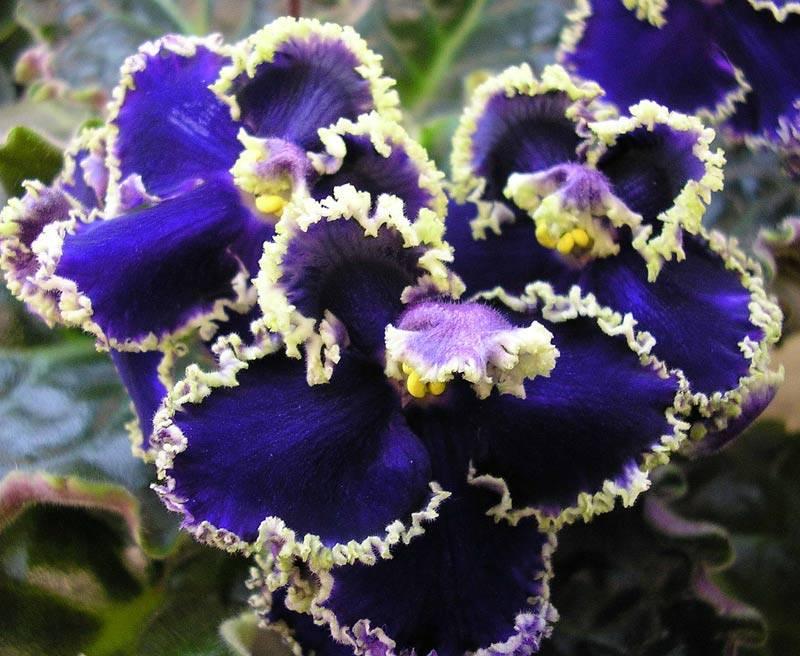 Фиалка прекрасная креолка: описание, фото, выращивание ле-сорта