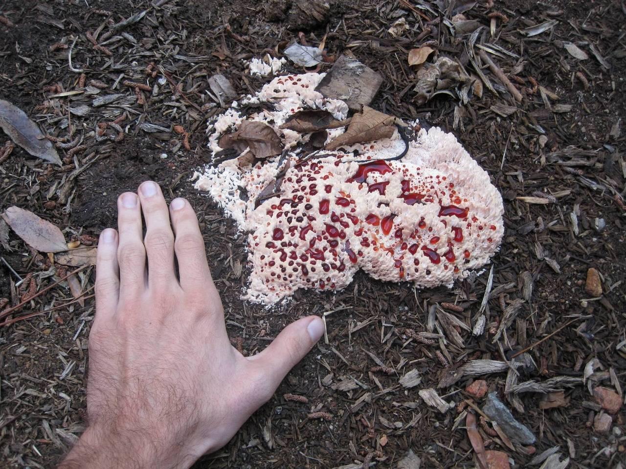 Гриб гиднеллум пека или кровавый зуб: интересные факты (hydnellum peckii)