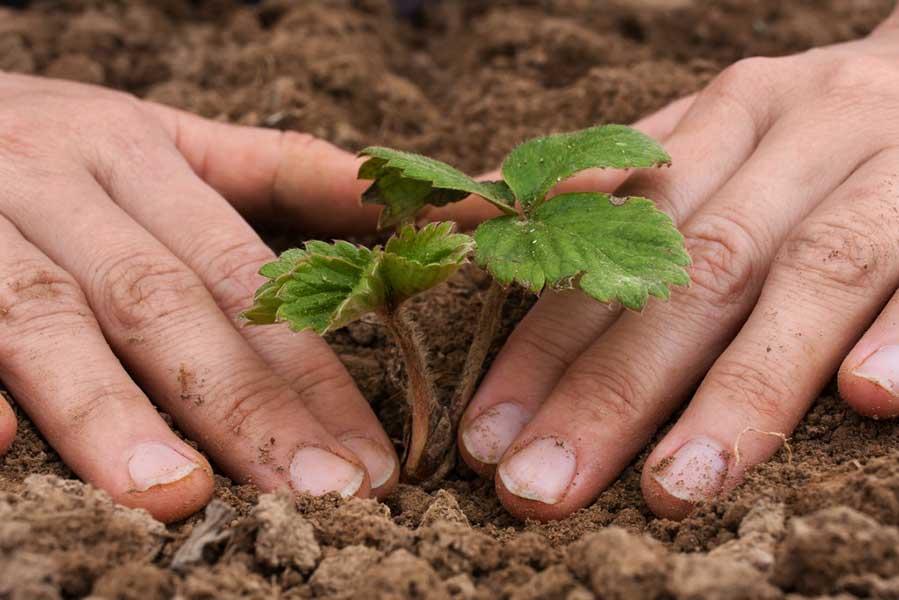 Как сажать клубнику: инструкция по посадке и уходу за культурой в открытом грунте и тепличных условиях