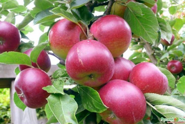 Сибирская яблоня розовый налив: описание, фото, отзывы