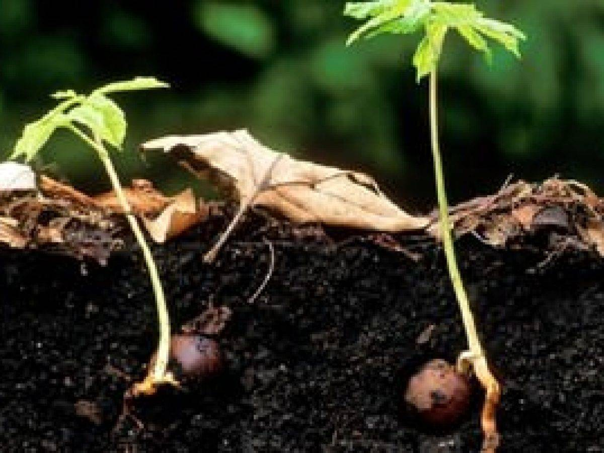 Как дома в горшке вырастить дуб из желудя