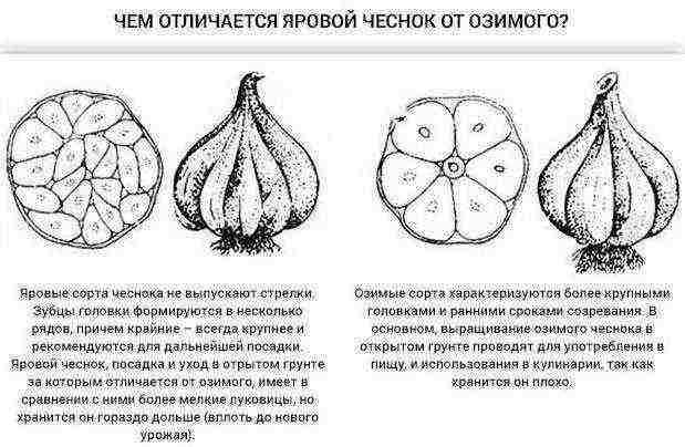 Выращиваем чеснок правильно. уход, размножение. озимый. яровый. уборка и хранение. фото — ботаничка.ru