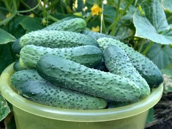 Огурец бьерн: описание, отзывы, фото, посадка и уход за гибридом f1, особенности агротехники для получения богатого урожая