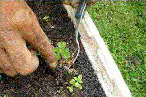Стевия - сахарная трава: выращивание в саду | good-tips.pro
