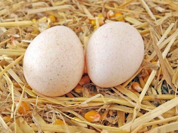 Когда индоутки начинают нести яйца в первый раз