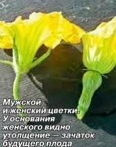 Цветение огурца женский и мужской тип