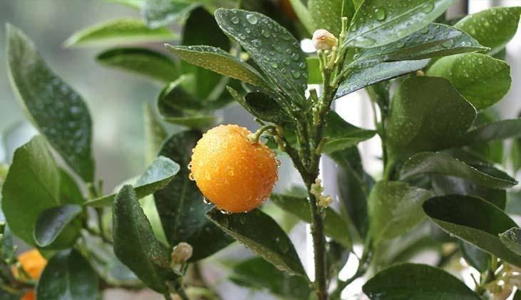 Мандариновое дерево – как выглядит и цветет, можно ли вырастить из косточки, правила посадки