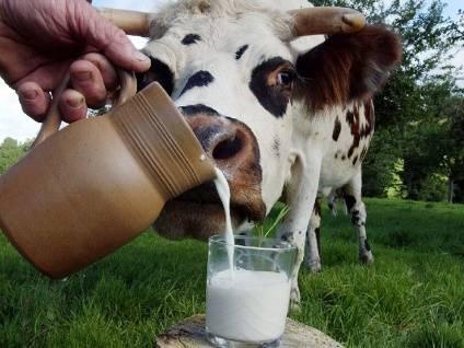 Что такое бруцеллез у коров и чем он опасен для людей?