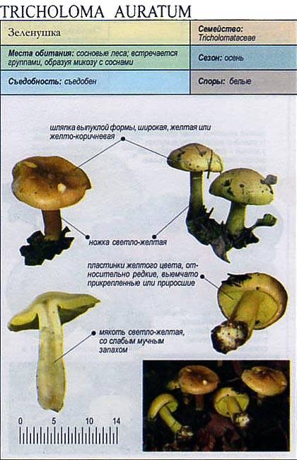 ✅ гриб рядовка зелёная (зеленушка): фото и описание, съедобный или нет, особенности применения - tehnoyug.com