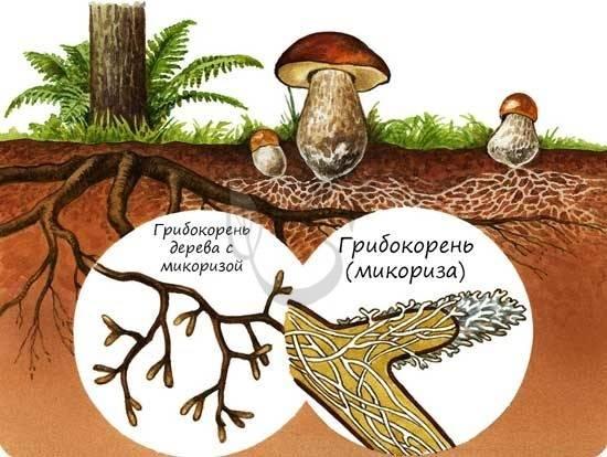 Плодовое тело гриба: что это, из чего состоит, функции