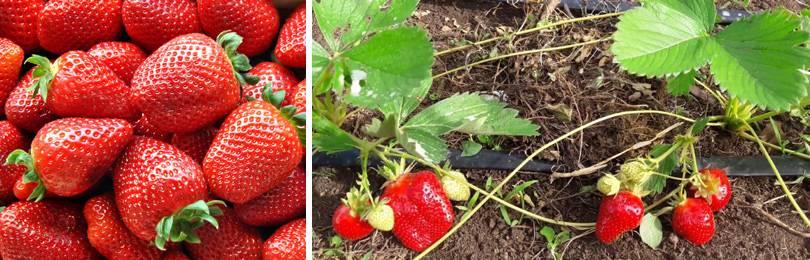 Уход за клубникой: посадка, выращивание и секреты ухода за клубникой в домашних условиях (115 фото)