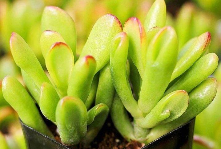 Какие есть растения, похожие на денежное дерево, чем они отличаются? краткие описания и фото цветков