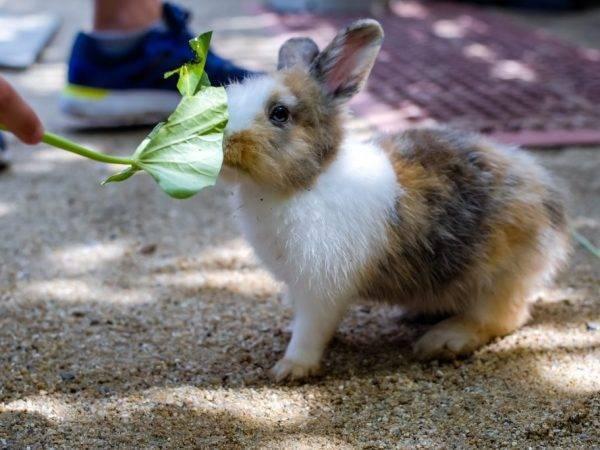 ✅ можно ли давать кролику лопух: как правильно кормить, дозировка в рационе - tehnomir32.ru